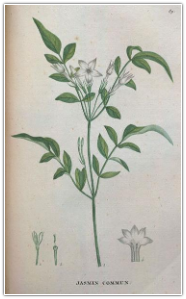 Jasmine Grandiflorum Absolute, India