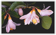 Benzoin, Onycha Essential Oil