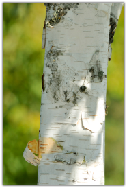 Birch Essential Oil, Adirondack