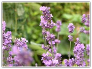 Lavender Bulgarian Essential Oil, Wild