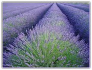Lavender Bulgarian Super Essential Oil