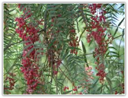 Pepper Tree Essential Oil, Pink (Redberry)