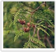 Cedar Leaf, Western Red Essential Oil
