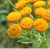Tansy Essential Oil, Blue WildCrafted