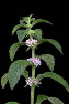 Cornmint Essential Oil