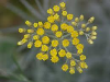 Helichrysum (Immortelle) Absolute