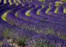Lavender Essential Oil, Italy High Altitude