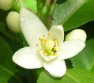 Neroli Essential Oil, True