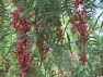 Pepper Tree Essential Oil, Pink (Redberry) Organic