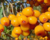 Seabuckthorn Berry CO2 Total