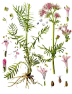 Valerian Root Essential Oil, India
