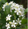 Jasmine Grandiflorum Premium Absolute, India