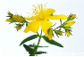 St. John's Wort Essential Oil, Organic USA