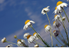 Chamomile, Roman Essential Oil