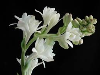 Tuberose Absolute, India